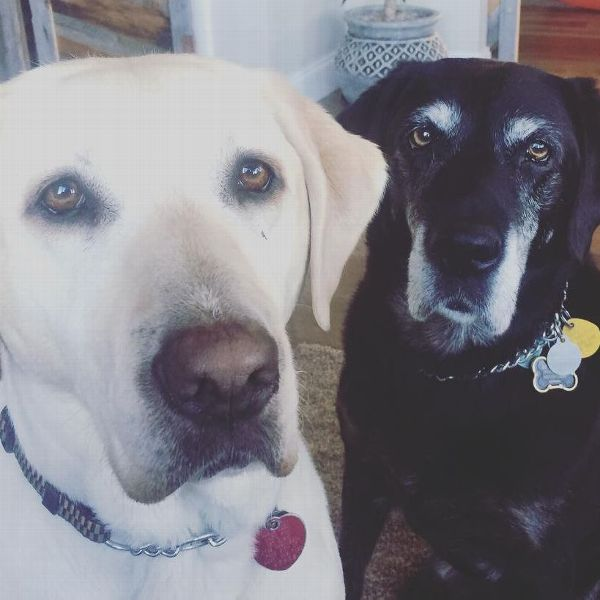 Danelle Umstead's guide dog Aziza (left) and retired guide dog Bettylynn.